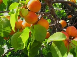 Apricots in the Apricot Crumble